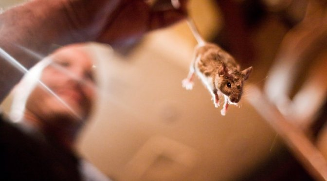 New York Mice Host Dangerous Bacteria and Viruses Never Seen Before